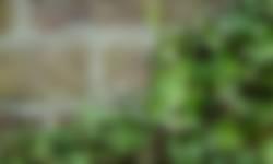 Muurleeuwenbek