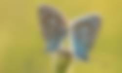 Icarusblauwtjes bij Doosje
