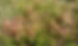 Klein warkruid woekerend over de jonge heide