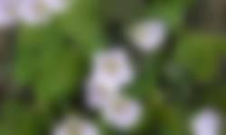Witte klaverzuring