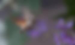 Kolibrievlinder op vlinderstruik