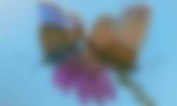 Heideblauwtje op dopheide