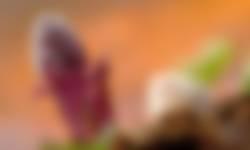 Groot hoefblad voorjaarsbloeiers
