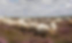 Drentse heideschapen grazen tussen de struikheide