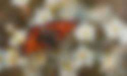 Sleedoorn voorjaarsbloeiers kleine vos