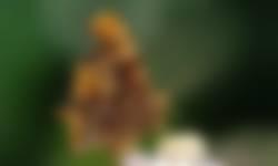 Gehakkelde aurelia met witte c