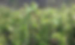 Bloeiende bosbessenstruiken in Nationaal Park Veluwezoom