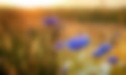 Korenbloemen