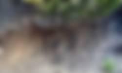 Vangkuilen mierenleeuw langs een zandpad