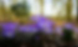 Boerenkrokus voorjaarsbloeiers