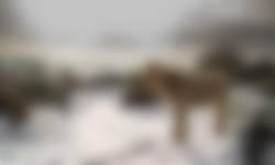 IJslander in de sneeuw