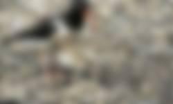 Scholekster weidevogel