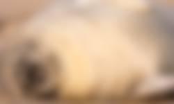 Gewone zeehond ligt te zonnebaden