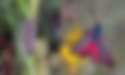 Rups en sint-jansvlinder