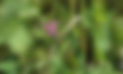 Akkerleeuwenbek in winterakker pleegakkers
