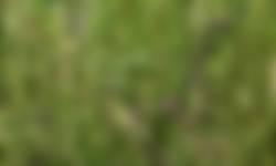 Akkerogentroost op pleegakker wintergraan
