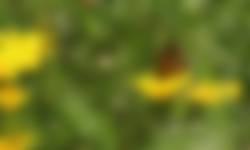 Bruin zandoogje op gele ganzenbloem pleegakker