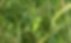 Nimf grote sabelsprinkhaan op pleegakkers IJsselvallei en Planken Wambuis