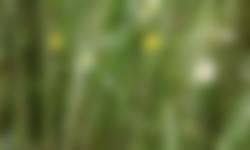 Korensla in pleegakkers met wintergraan