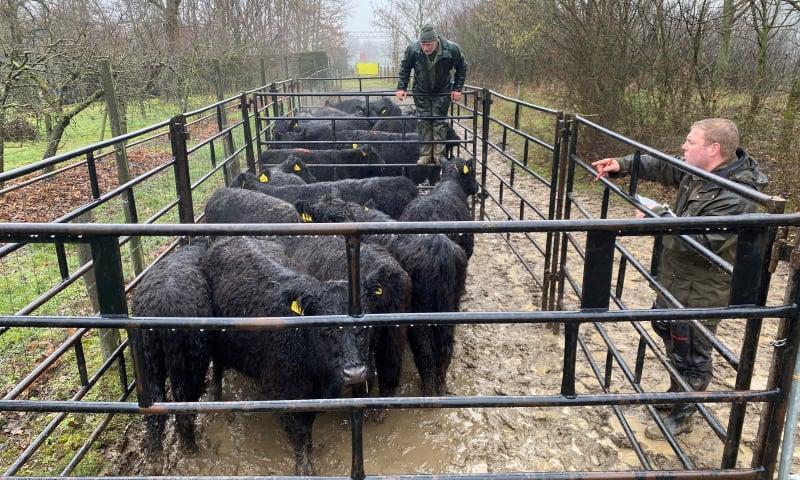 Verplaatsen vee
