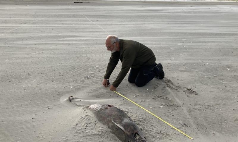 bruinvis op strand Schiermonnikoog