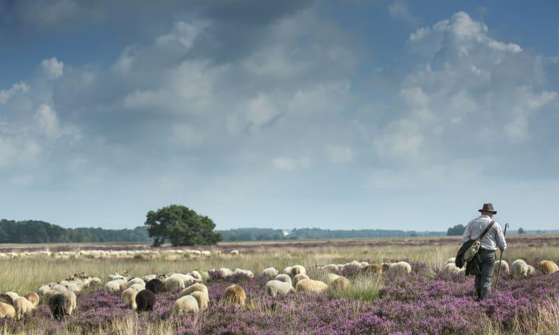 Schaapherder Johan met een deel van de schapen