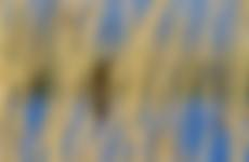Zingende rietvogels