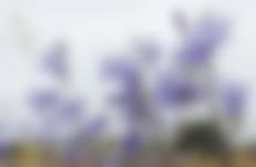 Grasklokjes Campanula rotundifolia. Zo teer.