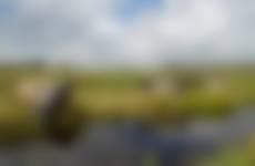 Koeien in moerasgebied Nieuwkoopse Plassen