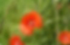 Klaprozen in een bloeiende akkerrand