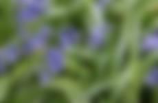 Wilde hyacint voorjaarsbloeiers