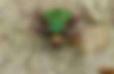 Groene zandloopkever