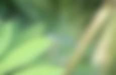 Blauwe Juffer in Arboretum de Lutte