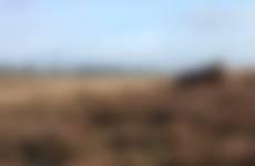Schotse hooglander op de Kleine Heide