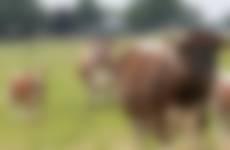 Longhorns Suydbroek Haarle