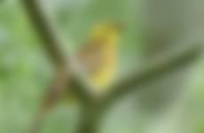 geelgors