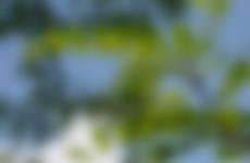 Veervormig bladeren robinia