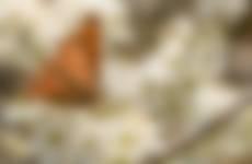 Gehakkelde aurelia gelokt door de nectar van bloesembomen