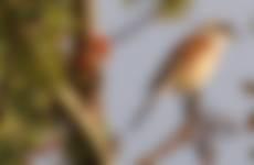 Grauwe klauwier Soerense Broek