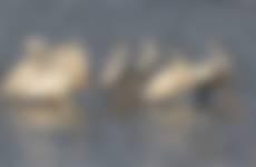 Lepelaars bij zonsopgang op Vlieland