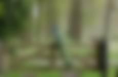 Wallsteijn pauw