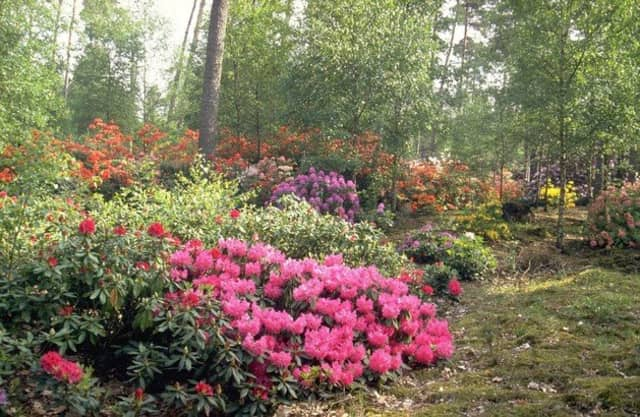 Rododendrontuin