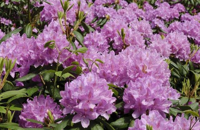 Rododendronvallei