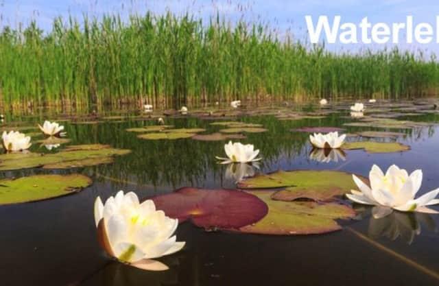 Waterlelies en gele plomp