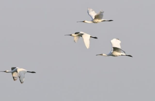 Moerasvogels