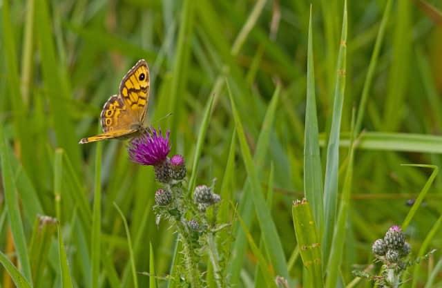 Argusvlinder in de wilde bloementuin