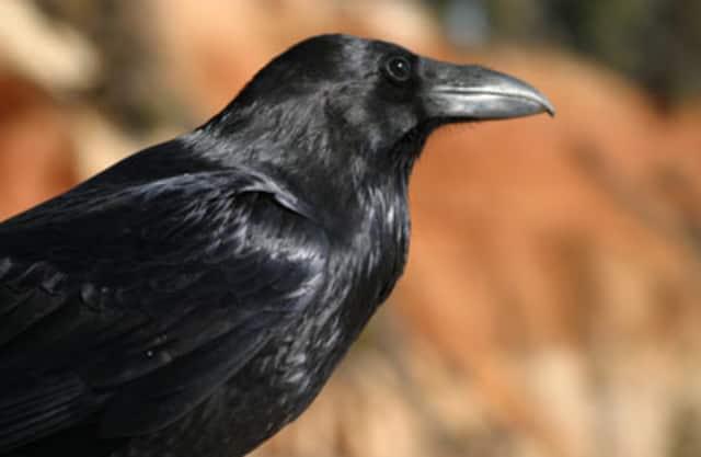 Hollandse gieren en andere vogels