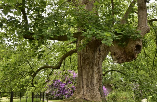 Magnifieke tulpenboom