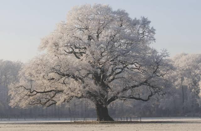 Ontzagwekkende eik op landgoed Hilverbeek