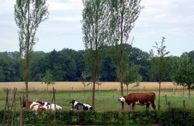 Boerenland met koeien